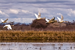 Rice fields provide excellent habitat for Tundra Swans and many other birds.