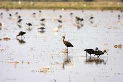 White-faced Ibis are a common site at Montna Farms.