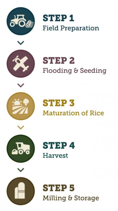 paddy yielding process