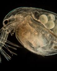 Water Flea Close-Up