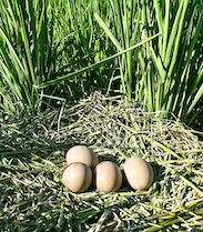 bird eggs on a nest in a rice field