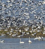 snow geese and swans taking flight