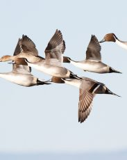 Northern Pintails flying