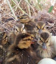 mallard duckings