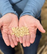 holding rice seeds