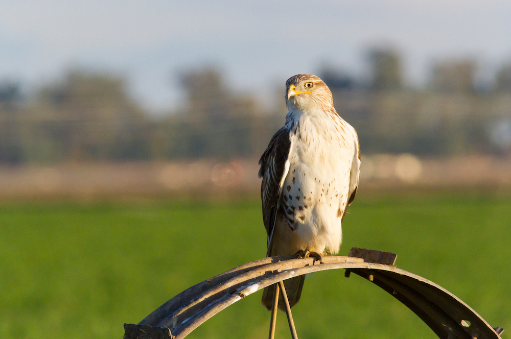While Red-tailed Hawks