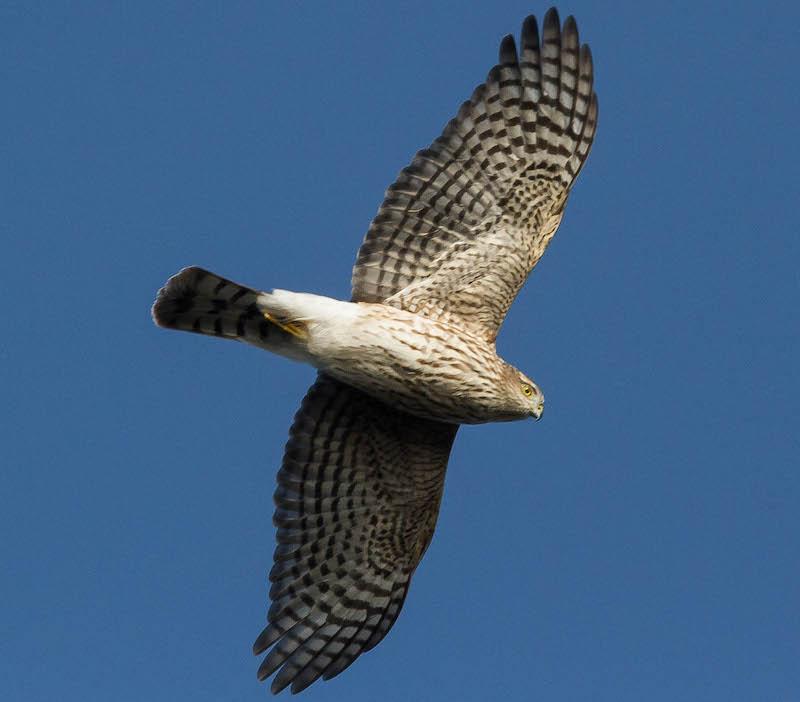 Ferruginous Hawks